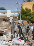 Goats at Nubian Village on Elephantine Island, Aswan, Egypt Photographic Print by Reinhard Dirscherl