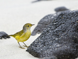 Yellow Warbler (Dendroica Petechia), Sombrero Chino Island, Galapagos Islands, Ecuador Photographic Print by Gerald & Buff Corsi