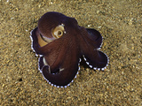 Veined Octopus (Octopus Marginatus), Anilao, Philippines Fotoprint van David Fleetham