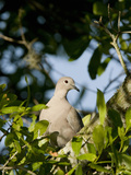 Eurasian Collared Dove (Streptopelia Decaocto) Titusville, Florida, USA Photographic Print by Marc Epstein