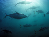 Southern Bluefin Tuna (Thunnus Maccoyii) Circle in Holding Pen Off Port Lincoln, South Australia Photographic Print by David Fleetham