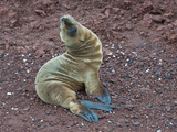 Galapagos Sea Lion Pup (Zalophus Californianis Wollebaeki), Rabida Island, Galapagos Islands Photographic Print by Gerald & Buff Corsi