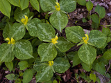 Yellow Trillium (Trilleum Luteum) Great Smoky Mountains Np Photographic Print by Gerald &amp; Buff Corsi