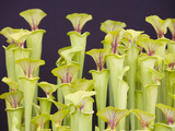 Pitcher Plants Photographic Print by Ashley Cooper