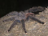 Pink-Toe Tarantula (Avicularia Avicularia) on a Tree at Night in Tamshiyacu-Tahuayo Reserve, Peru Photographic Print by Christopher Crowley