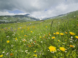 Alpine Wildflowers in a Mountain Meadow Above Flims, Switzerland Photographic Print by Ashley Cooper