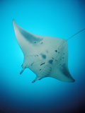 Manta Ray (Manta Birostris), Maldives, Indian Ocean Photographic Print by Reinhard Dirscherl