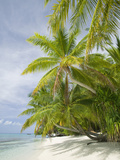 Palms on a Tropical Beach on the Funafuti Atoll in Tuvalu Photographic Print by Ashley Cooper