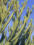 Candelabra Tree (Euphorbia Ingens), Uganda Photographic Print by Gary Cook