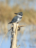 Male Belted Kingfisher (Ceryle Alcyon) Perching on Pig Weed Stalk Photographic Print by Marc Epstein
