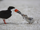 Black Skimmer (Rynchops Niger) Chick Being Fed on the Beach Nest Reproduction photographique par John Cornell