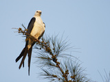 Swallow-Tailed Kite (Elanoides Forficatus) Photographic Print by John Cornell