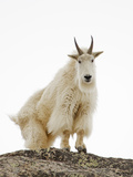 Mountain Goat (Oreamnos Americanus) Photographic Print by John Cornell