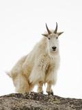 Mountain Goat (Oreamnos Americanus) Photographic Print by John Cornell
