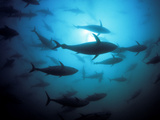Southern Bluefin Tuna, Thunnus Maccoyii, Circle in Holding Pen Photographic Print by David Fleetham