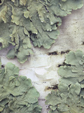 Green Shield Lichen (Flavoparmelicaperata) Growing on Birch Tree Bark Photographic Print by Wally Eberhart