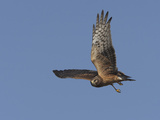 Northern Harrier Male in Flight Photographic Print by Richard Ettlinger