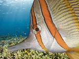 Beaked Coralfish (Chelmon Rostratus), Pacific Ocean, Raja Ampat, West Papua, Indonesia Photographic Print by Reinhard Dirscherl