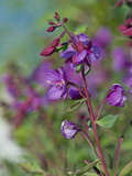 Dwarf Fireweed (Epilobium Latifolium), Glacier Bay National Park, Alaska, USA Photographic Print by Gerald & Buff Corsi