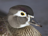 Female Wood Duck Head, Aix Sponsa, North America Photographic Print by John Cornell