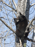 Black Bear (Ursus Americanus) Sitting in a Tree, Vince Shute Wildlife Sanctuary, Minnesota, USA Photographic Print by Cheryl Ertelt