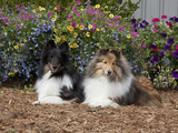 Shetland Sheepdogs Sitting in a Garden, MR D2778 Photographic Print by Cheryl Ertelt