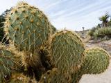 Pancake Prickly Pear Cactus (Opuntia Chlorotica), Joshua Tree National Park, Mojave Desert Photographic Print by Buff & Gerald Corsi