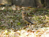 Cedar Waxwing (Bombycilla Cedrorum), Eastern USA Photographic Print by Marc Epstein