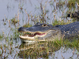American Alligator (Alligator Mississippiensis) Resting, Merritt Island National Wildlife Refuge Photographic Print by Marc Epstein