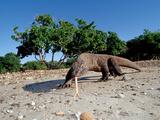 Komodo Dragon (Varanus Komodoensis) Komodo National Park, Indonesia Fotografie-Druck von Reinhard Dirscherl