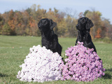 Flat-Coated Retriever Pair Posed and Sitting Behind Flowers Photographic Print by Cheryl Ertelt