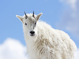 Yearling Mountain Goat (Oreamnos Americanus), Rocky Mountains, North America Photographic Print by John Cornell