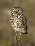 Burrowing Owl (Athene Cunicularia), Cape Coral, Florida, USA Photographic Print by Gerald & Buff Corsi