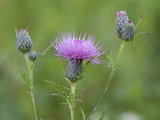 Swamp Thistle (Cirsium Muticum) Photographic Print by Clint Farlinger