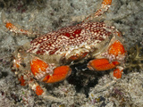 Splendid Round Crab (Etisus), Raja Ampat, West Papua, Indonesia Photographic Print by Reinhard Dirscherl