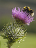 Bumblebee (Bombus) Nectaring on a Spear or Bull Thistle (Cirsium Vulgare), Scotland, UK Photographic Print by Gary Cook