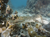 Saltwater Crocodile Swimming over a Coral Reef (Crocodylus Porosus), Micronesia, Palau Photographic Print by Reinhard Dirscherl