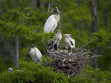 Wood Storks (Mycteria Americana) at Nest in a Rookery, Dungannon Plantation Heritage Preserve Photographic Print by Marc Epstein