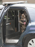 Czech Shepherd in a Police Car Photographic Print by Cheryl Ertelt