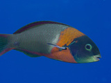 The Saddle Wrasse (Thalassomduperrey) Photographic Print by David Fleetham