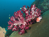 Red Soft Coral (Dendronephthya), Raja Ampat, West Papua, Indonesia Photographic Print by Reinhard Dirscherl