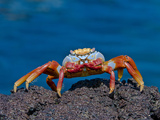 Sally Lightfoot Crab (Grapsus Grapsus), Puerto Egas, Galapagos Islands, Ecuador Photographic Print by Gerald & Buff Corsi