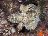 Common Octopus (Octopus Vulgaris), Tamariu, Costa Brava, Mediterranean Sea, Spain Fotoprint van Reinhard Dirscherl
