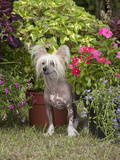 Chinese Crested Hairless Dog Standing in a Yard, MR 2528 Photographic Print by Cheryl Ertelt
