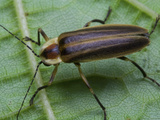 Firefly on a Leaf, Fireflies are Called Lightning Bugs Photographic Print by Jeff Daly