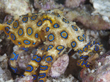 Greater Blue-Ringed Octopus (Hapalochlaena Lunulata) a Small But Highly Venomous Species Fotoprint van Christopher Crowley