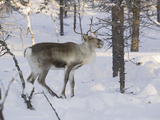 Reindeer Foraging in Northern Finland in Winter Near Saariselka Photographic Print by Ashley Cooper