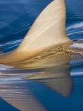 The Dorsal Fin of a Gray Reef Shark (Carcharhinus Amblyrhynchos) Breaks the Calm Ocean Surface Photographic Print by David Fleetham