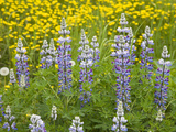 Lupine Wildflowers (Lupinus), Alaska, USA Photographic Print by Patrick Endres
