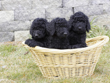 Standard Poodle Puppies 8 Weeks Old Photographic Print by Cheryl Ertelt